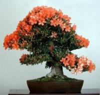 vhoroscope.ru/images/fora/bonsai.jpg