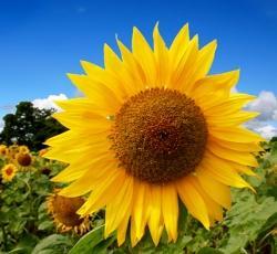 vhoroscope.ru/images/fora/sunflower.jpg